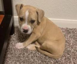 Beautiful Male Pitbull Puppy - $500 (College Station)