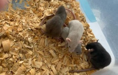 Dumbo Ear Dwarf Rats (Calvert)