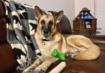 Loving German Shepherd in Need of Home (Bryan)
